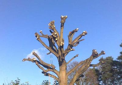 Pollarding Ashwood Tree Care